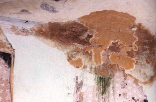 Fruchtkörper vom Echten Hausschwamm an einer Innenwand